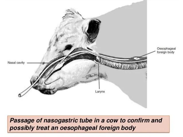 Gastroenterological examination in ruminants