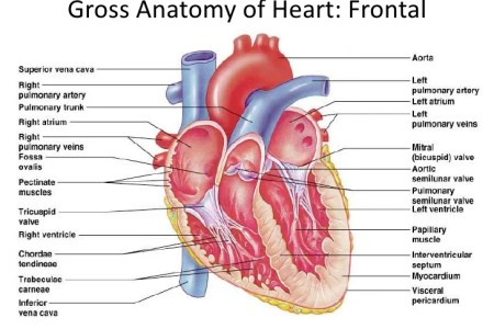 Interior lateral anterior views of heart full hd maps locations heart anatomy of the heart heart anatomy anatomy and physiology the left panel of this figure shows the anterior view of the heart with the different gross ccuart Choice Image