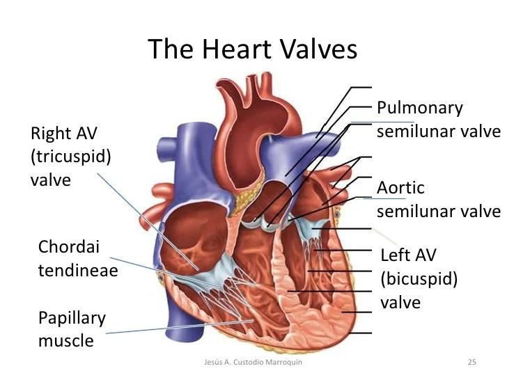 Blank Heart Diagram Semilunar Valves Mechanical Heart Valve Wire