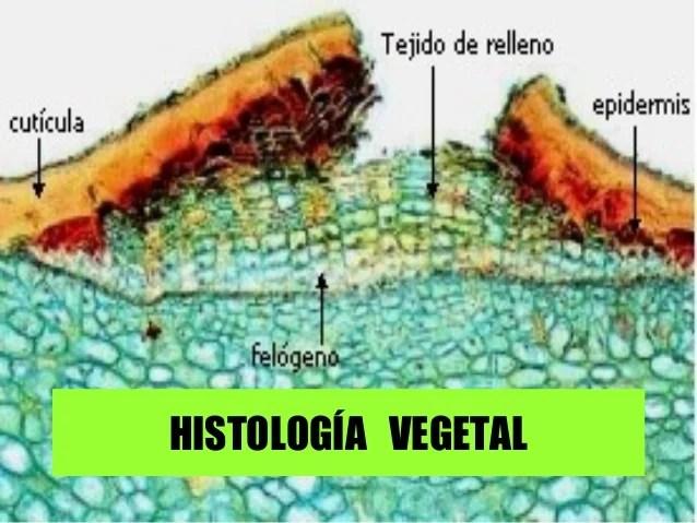 Resultado de imagen para histología vegetal