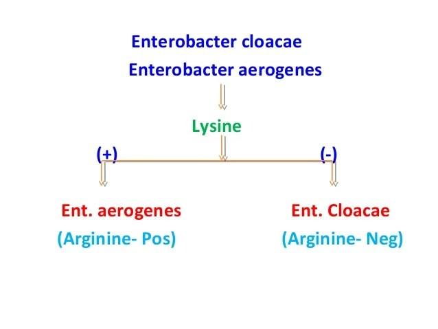 Aerogenes Enterobacter Test Mr