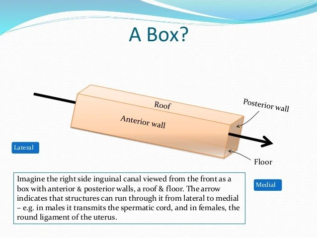 Roof And Floor Of Inguinal Canal | Wikizie.co