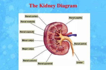 Interior internal kidney anatomy 4k pictures 4k pictures full anatomy of kidneys human kidney human anatomy kidney dissection youtube human anatomy kidney dissection renal artery wikipedia renal arteries branching left ccuart Image collections