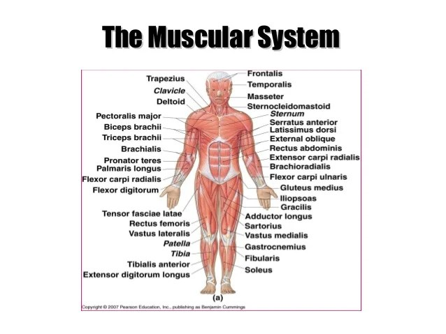 Main Parts Of Muscular System Referring Photo Gallery In Website ...