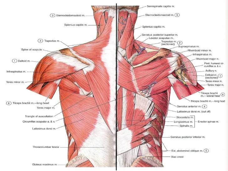 Serratus Anterior Muscle Diagram Labeled
