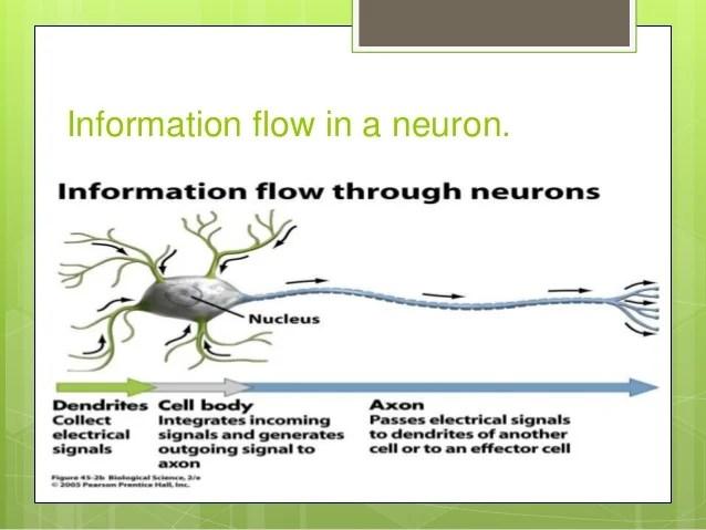 Nerve Cell Neuron Synapse