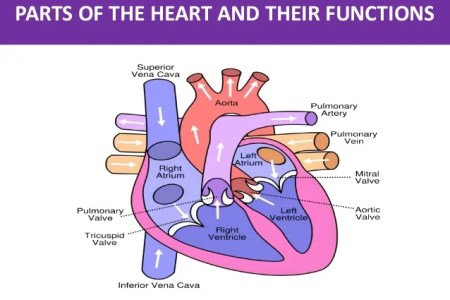 Interior structures of the human heart full hd maps locations free anatomy quiz anatomy of the heart quiz anatomy of the heart interior heart anatomy diagram diy enthusiasts wiring diagrams anatomy of heart internal ccuart Images