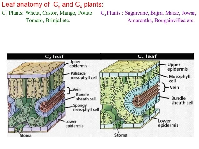 Difference In Leaf Anatomy Of C3 And C4 Plants Zoshwiki