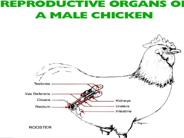 Anatomy of a rooster reproductive system ccuart Choice Image