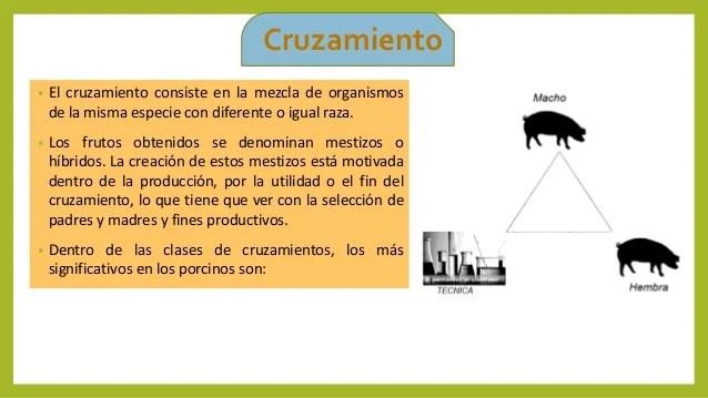 Razas De Cerdos Y Tipos De Cruces