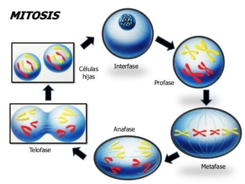 mitosis y miosis