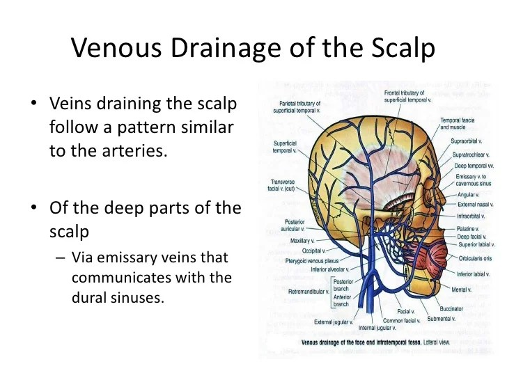 Scalp Arteries Or Nerves Of The Area