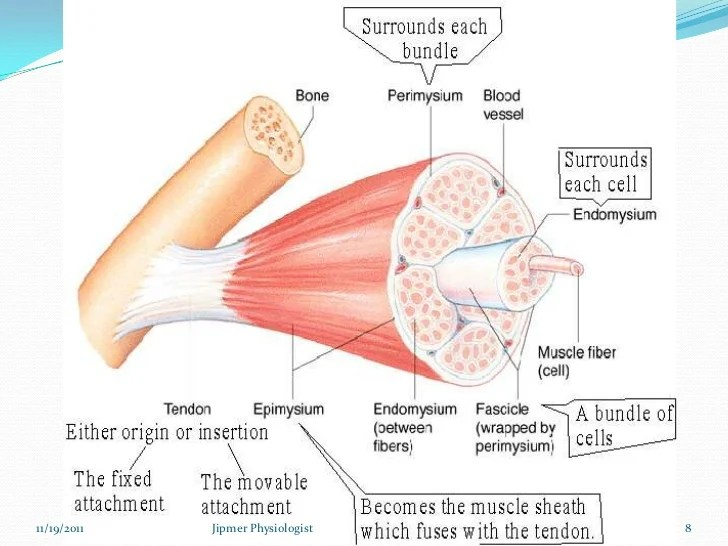 Diagram Of Skeletal Muscle – defenderautoinfo
