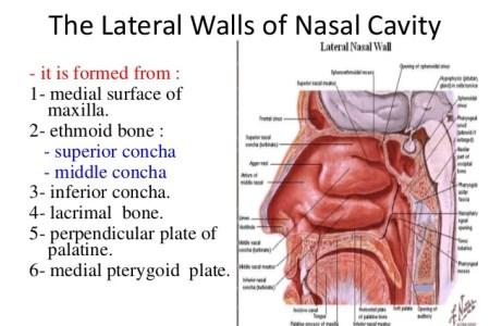 interior nasal anatomy » Electronic Wallpaper | Electronic Wallpaper