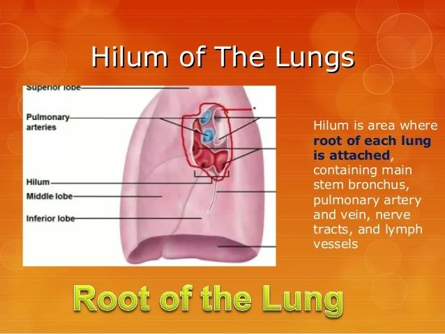 Surface Anatomy Of Lungs Lobes