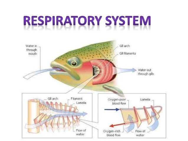 Respiratory System Diagram Of Perch - Auto Electrical Wiring Diagram •