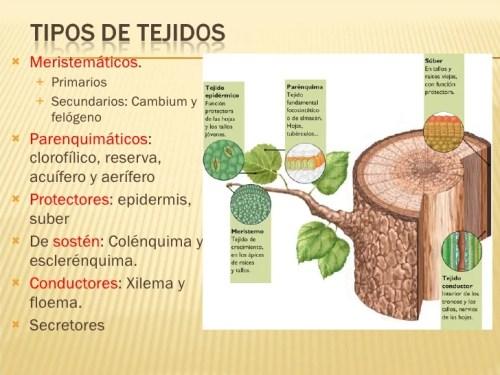tejidos vegetales 3 728 - Tejidos vegetales función y definición
