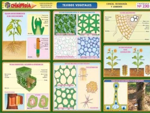 tejidos vegetales 2 638 - Tejidos vegetales función y definición
