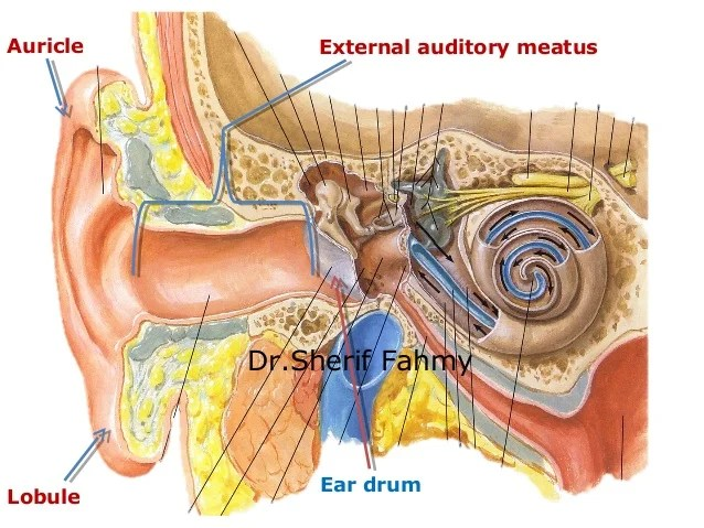 The Ear (Anatomy of the Neck)