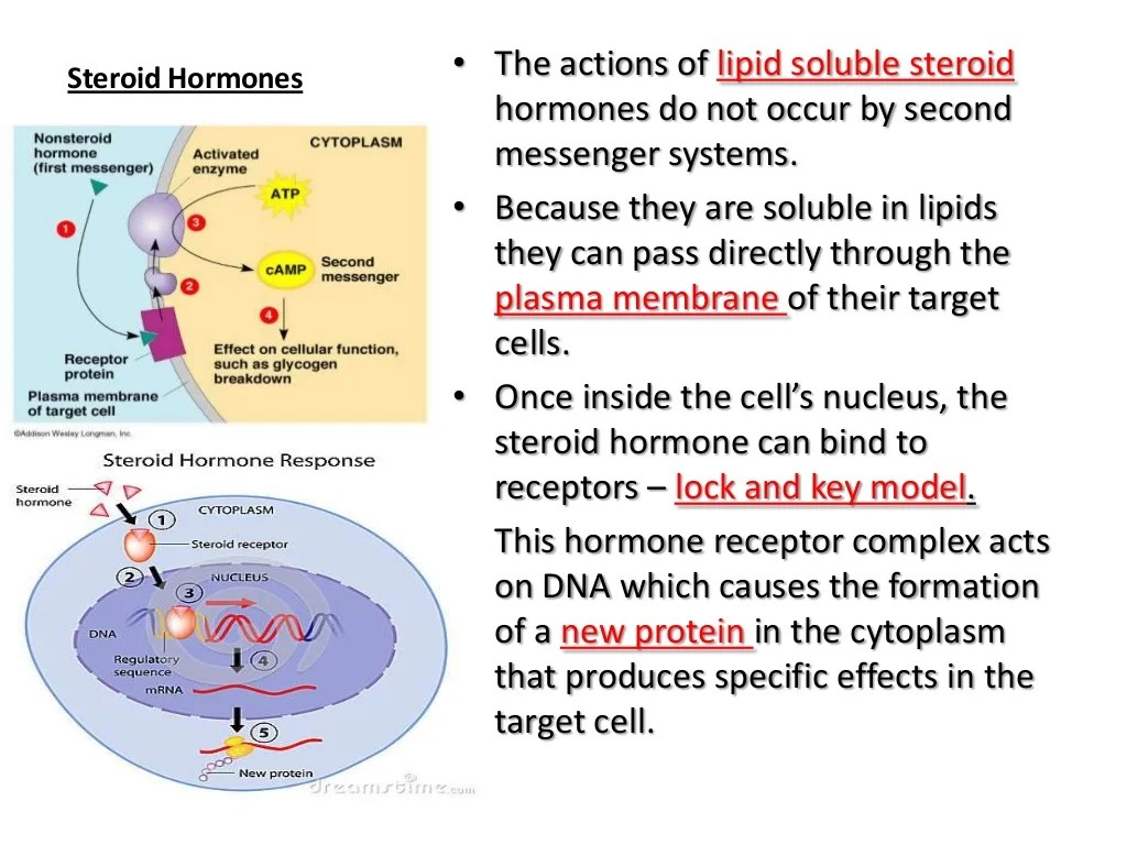 Anatomy And Physiology The Endocrine System 02 19 13