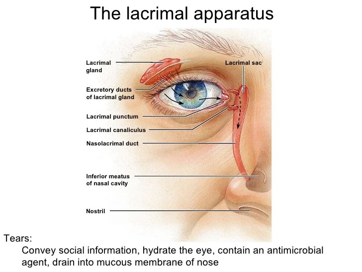 Image result for lacrimal apparatus