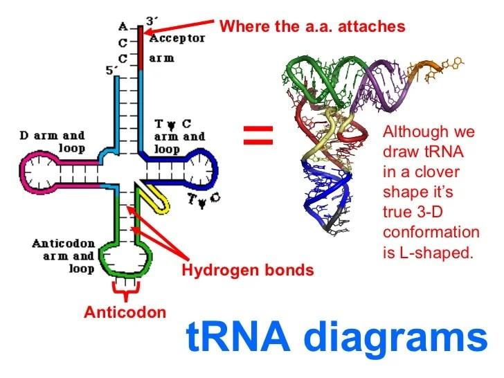 Protein Translation Diagram