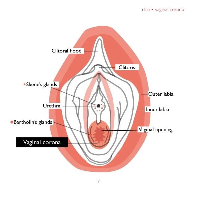 7 Rfsu  E2 80 A2 Vaginal Corona7clitoral Hoodclitorisurethraouter Labiainner Labiavaginal Openingbartholins Glandsskenes Glandsvaginal
