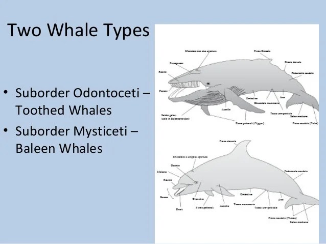 Heart Blue Whale Rate