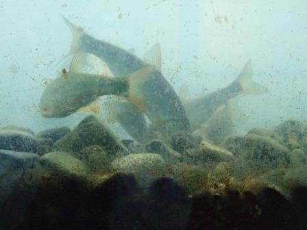 自然観察館の魚