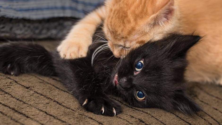 Katzenallergie Forscher Entwickeln Impfung Sternde