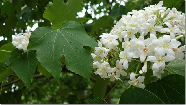 05_thumb4 芎林-綠色小徑 賞桐花順便來喝個茶吧