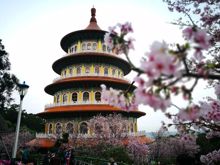 tienyuan06 淡水-晨光中綻放的櫻花 北台灣最夯賞櫻景點天元宮