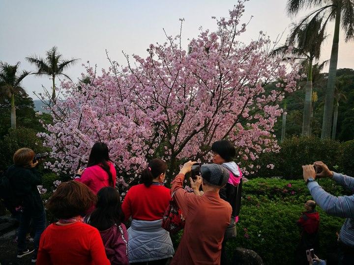 tienyuan07 淡水-晨光中綻放的櫻花 北台灣最夯賞櫻景點天元宮