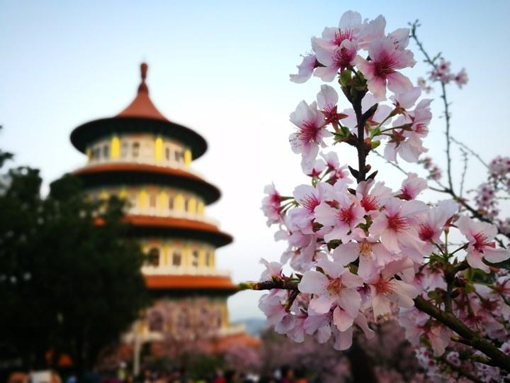 tienyuan08 淡水-晨光中綻放的櫻花 北台灣最夯賞櫻景點天元宮