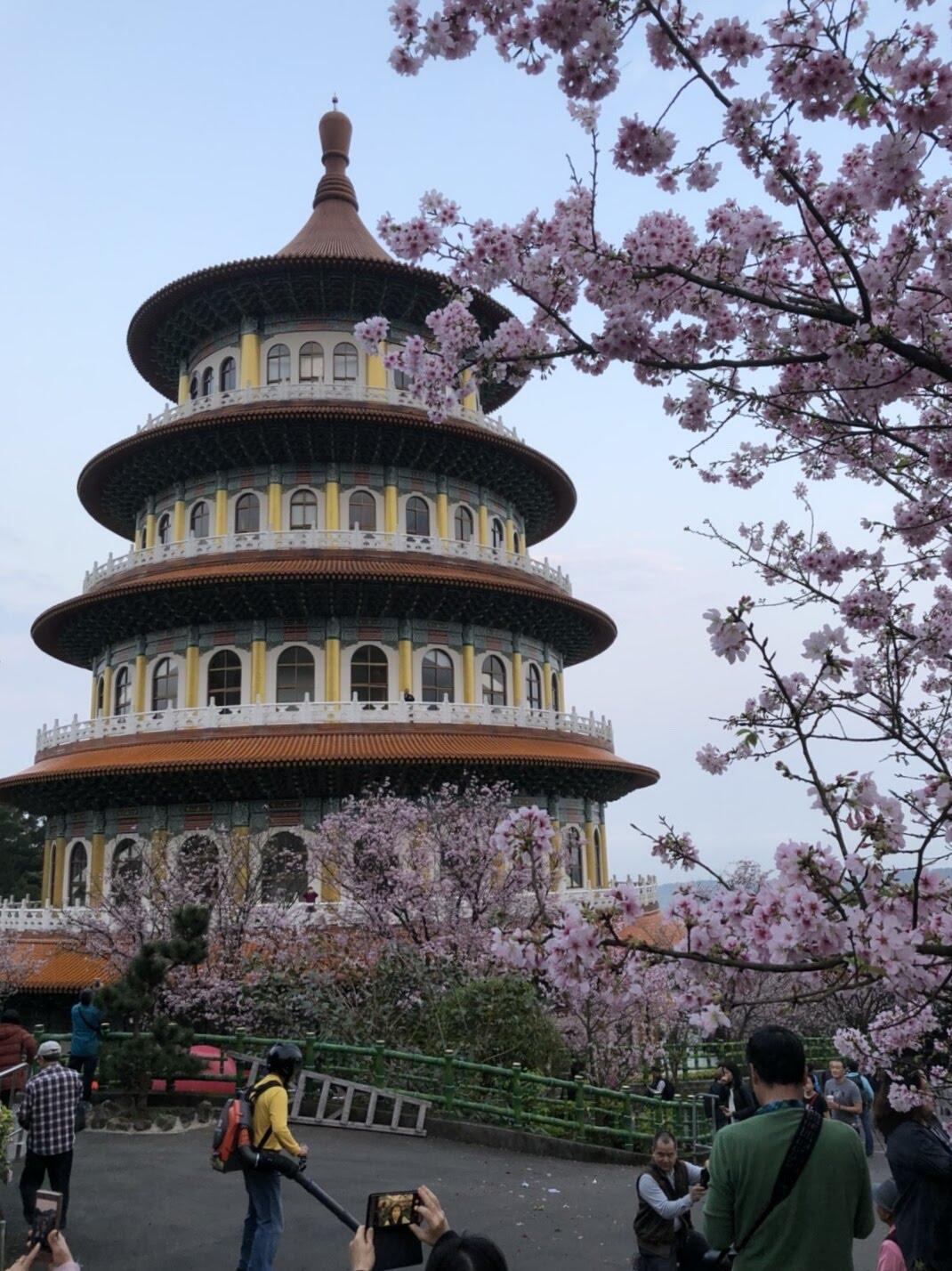 tienyuan09 淡水-晨光中綻放的櫻花 北台灣最夯賞櫻景點天元宮