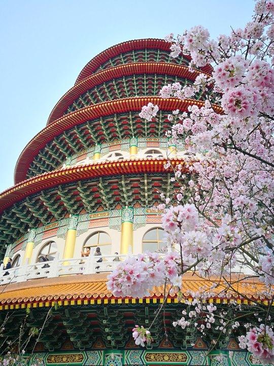 tienyuan14 淡水-晨光中綻放的櫻花 北台灣最夯賞櫻景點天元宮