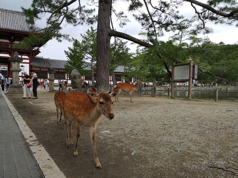 todaiji27 Nara-奈良小旅遊 世界文化遺產 東大寺&春日大社 搶食仙貝的小鹿亂撞