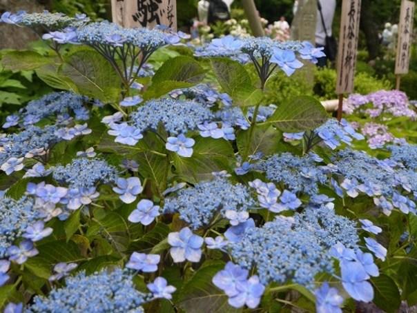 flowertemple05 Kamakura-鎌倉長谷寺 紫陽花季人山人海啊