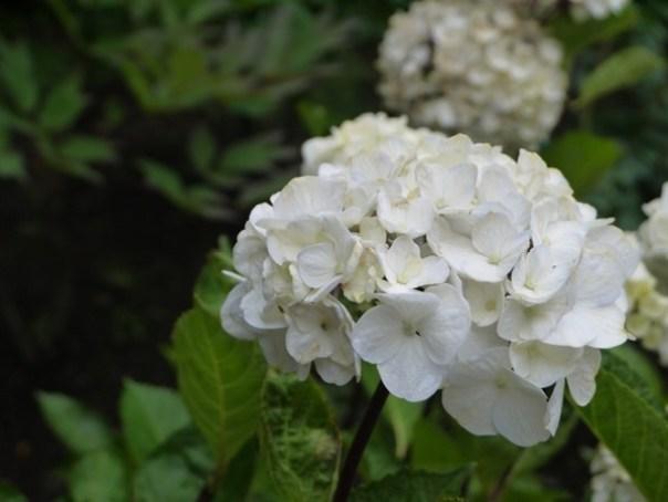 flowertemple11 Kamakura-鎌倉長谷寺 紫陽花季人山人海啊