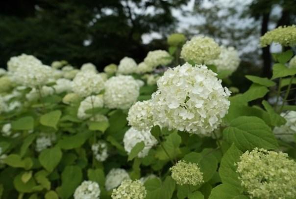 flowertemple20 Kamakura-鎌倉長谷寺 紫陽花季人山人海啊