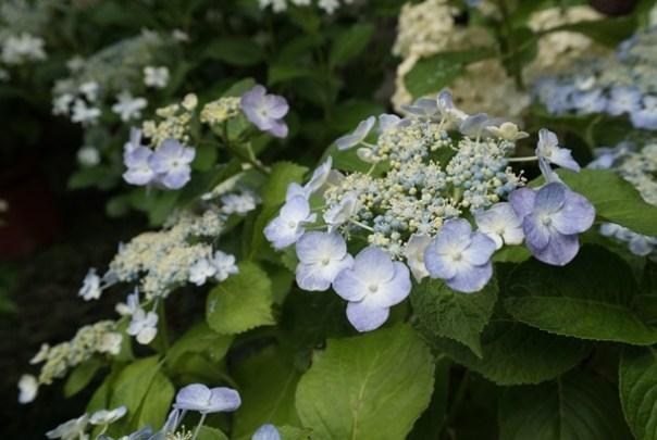 flowertemple25 Kamakura-鎌倉長谷寺 紫陽花季人山人海啊