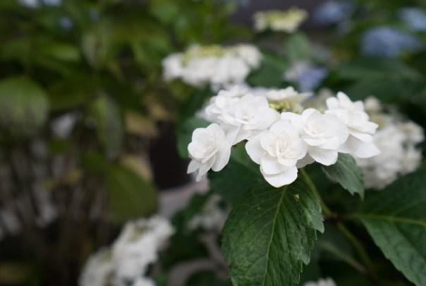 flowertemple27 Kamakura-鎌倉長谷寺 紫陽花季人山人海啊