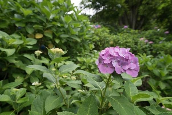 flowertemple29 Kamakura-鎌倉長谷寺 紫陽花季人山人海啊