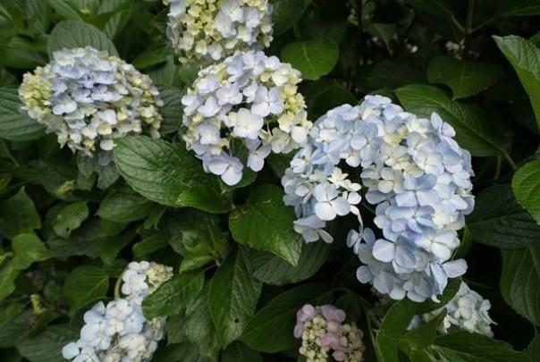flowertemple36 Kamakura-鎌倉長谷寺 紫陽花季人山人海啊