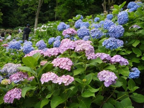 flowertemple44 Kamakura-鎌倉長谷寺 紫陽花季人山人海啊