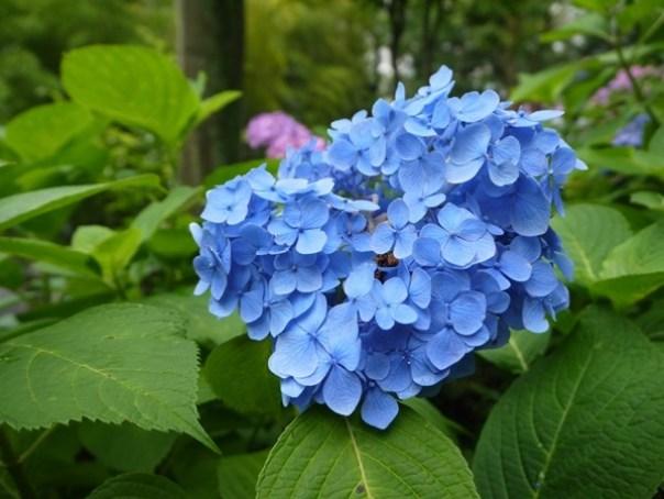 flowertemple46 Kamakura-鎌倉長谷寺 紫陽花季人山人海啊
