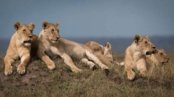 lion king online sa prevodom # 40