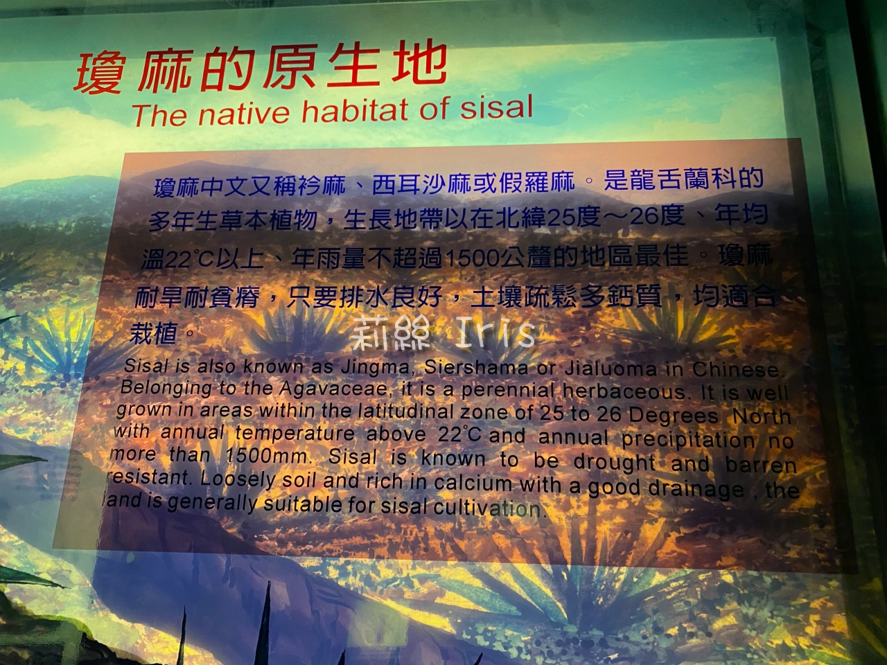 瓊麻的原生地
