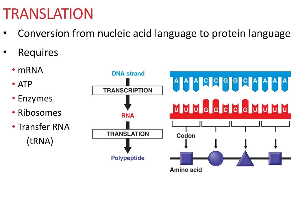 Ppt Flow Of Genetic Information From Dna Rna Protein