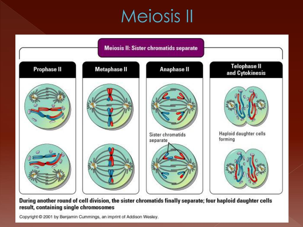 Cells Alive Meiosis Phase Worksheet Answers